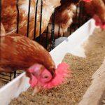 قیمت مرغ 50 درصد کاهش یافت