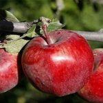 توقف صادرات سیب ایرانی