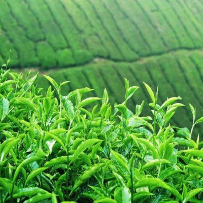 نابودی مزارع چای مازندران